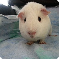 Guinea Pig for adoption in Harleysville, Pennsylvania - Otis