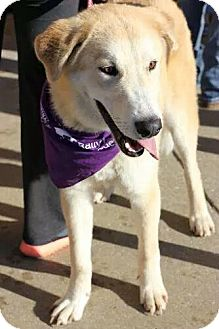 Husky/Great Pyrenees Mix Dog for adoption in Christiana, Tennessee - Abby