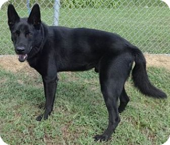 Shepherd (Unknown Type)/Chow Chow Mix Dog for adoption in Olive Branch, Mississippi - Tybo