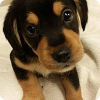 Adopt A Pet :: Bruiser - Joliet, IL