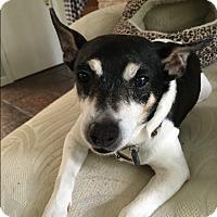Toy Fox Terrier Dog for adoption in Houston, Texas - Buckley