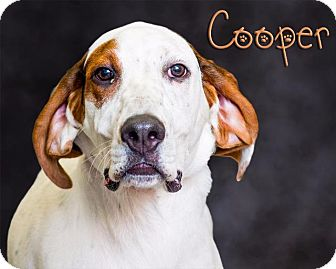 Hound (Unknown Type)/Setter (Unknown Type) Mix Dog for adoption in Somerset, Pennsylvania - Cooper