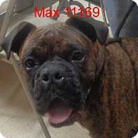 Boxer Dog for adoption in Alexandria, Virginia - Max