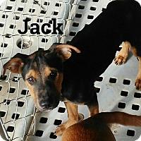 Boxer/Rottweiler Mix Puppy for adoption in Harrisburg, Pennsylvania - Jack