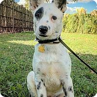 Adopt A Pet :: Diesel - Fredericksburg, TX