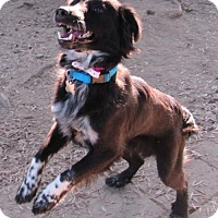 Springer Spaniel/Australian Shepherd Mix Dog for adoption in Lindsay, California - Zumie