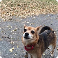 Pomeranian/Chihuahua Mix Dog for adoption in Lowell, Massachusetts - Bella