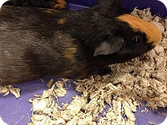 Guinea Pig for adoption in South Bend, Indiana - Buttons