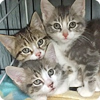 Adopt A Pet :: The Soda Pop Kittens: Pepsi, Fanta, & Sunkist - Brooklyn, NY