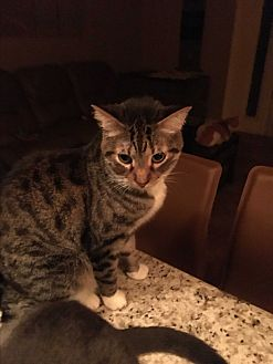 Domestic Shorthair Cat for adoption in Lauderhill, Florida - Boots