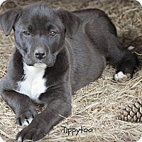 Adopt A Pet :: Tippytoo - Glastonbury, CT