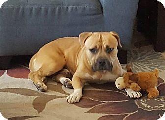 Bulldog/Boxer Mix Dog for adoption in Olympia, Washington - savoy