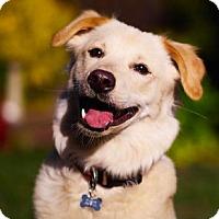 Adopt A Pet :: Brodi - San Ramon, CA