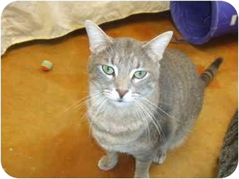 Domestic Shorthair Cat for adoption in Lake Charles, Louisiana - Brutus