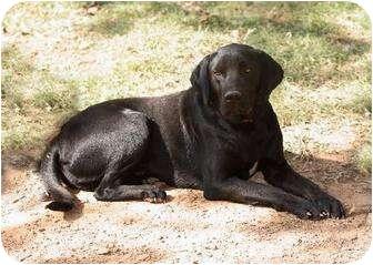 Labrador Retriever Mix Dog for adoption in Waldron, Arkansas - HUNTER ALEXANDER