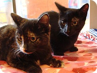 Domestic Shorthair Kitten for adoption in Albany, New York - Beauty and Elisa