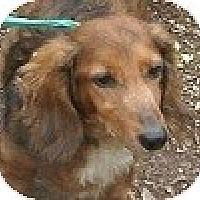 Adopt A Pet :: Schnitzel - Hamilton, ON