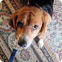 Adopt A Pet :: Portia - Novi, MI