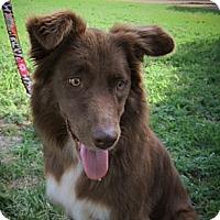 Adopt A Pet :: Amber - Abilene, TX