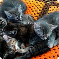 Adopt A Pet :: Maine Coon Mix litter - Dallas, TX
