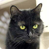 Adopt A Pet :: Chatty Catty - Chicago, IL