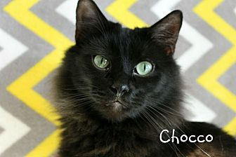 Domestic Longhair Cat for adoption in Wichita Falls, Texas - Chocco