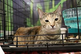 Domestic Shorthair Cat for adoption in Chino, California - Banzai