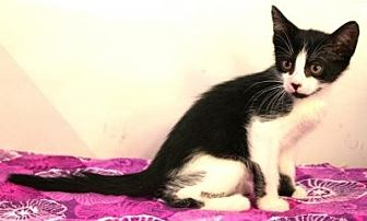 Domestic Shorthair Cat for adoption in Sebastian, Florida - Tazzy