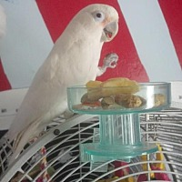 Cockatoo for adoption in Schenectady, New York - Mya