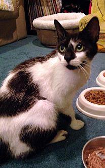 Domestic Shorthair Cat for adoption in Wayne, Pennsylvania - Domino
