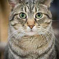 Domestic Shorthair Cat for adoption in Belton, Missouri - Gia