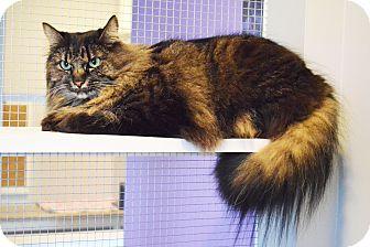 Domestic Longhair Cat for adoption in Lincoln, Nebraska - Jazz