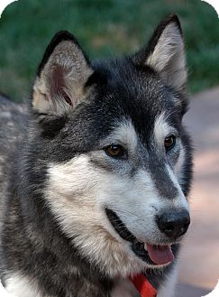 Alaskan Malamute Dog for adoption in Boise, Idaho - ABBY - Needs Foster Home!