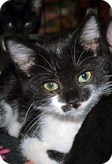 Domestic Shorthair Kitten for adoption in Madison, Alabama - Cypress