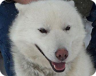 Siberian Husky Mix Dog for adoption in Shingleton, Michigan - Dublin