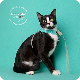 Domestic Shorthair Cat for adoption in Friendswood, Texas - Lace