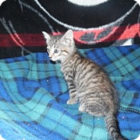 Domestic Shorthair Kitten for adoption in Clarksville, Arkansas - Addie