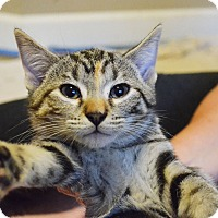 Adopt A Pet :: Achelois - Lincoln, NE