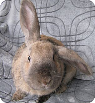 Mini Lop Mix for adoption in Warren, Michigan - Miss Marpat-Pending