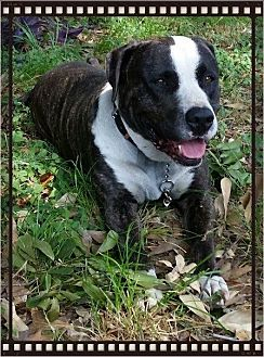 Staffordshire Bull Terrier Dog for adoption in Houston, Texas - Duke