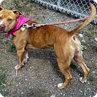 American Pit Bull Terrier Mix Dog for adoption in Portland, Oregon - Jane