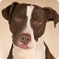 Adopt A Pet :: Pops - Chicago, IL