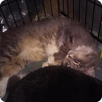 Adopt A Pet :: Lisa Courtesy Post - Absecon, NJ