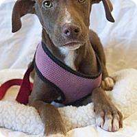 Adopt A Pet :: Cosmo - Mt. Prospect, IL
