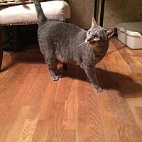 Adopt A Pet :: Cowboy - Fenton, MO