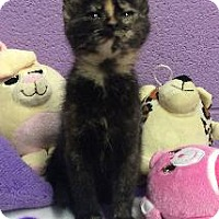 Domestic Shorthair Kitten for adoption in Richardson, Texas - Chicklet