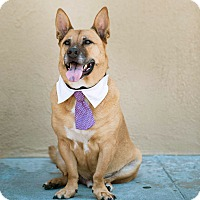 Shepherd (Unknown Type)/Corgi Mix Dog for adoption in Los Angeles, California - Handsome Biggie-VIDEO