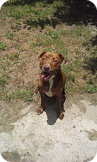 Labrador Retriever/Plott Hound Mix Dog for adoption in Houston, Texas - Perry