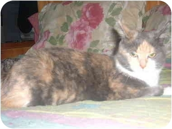 Domestic Shorthair Cat for adoption in Bedford, Massachusetts - Thelma