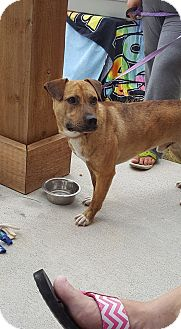 American Staffordshire Terrier/Terrier (Unknown Type, Medium) Mix Dog for adoption in sanford, North Carolina - Reese